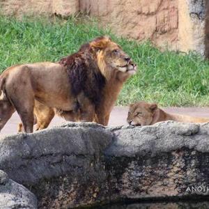 レボのお相手 その7 トワ レボのメモリー 多摩動物公園 ライオン