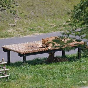 暑さの中木陰で休むライオン達 休園明けのライオン園 多摩動物公園