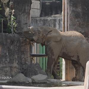午後の退屈な時間帯 休園明けのアフリカゾウ舎 その4 多摩動物公園