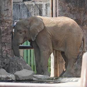 14時過ぎにおやつ投入 午後のアフリカゾウ舎 多摩動物公園