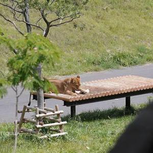 ナナさんにお伺いを立てるミキちゃん 6月中旬のライオン園 多摩動物公園