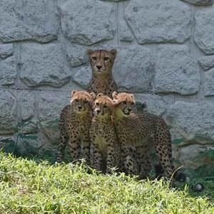 カグラちゃんの後連なって移動するザオウとホタカ 7月下旬のデュラ親子 チーター親子 多摩動物公園
