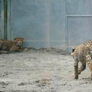 ホタカを付け回すカグラちゃん 6月下旬のデュラ親子 その3 多摩動物公園 チーター