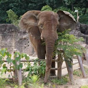 アコさんこっち見て下さいby砥夢君 7月下旬のアフリカゾウ舎 多摩動物公園