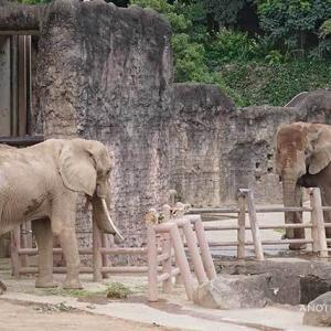 アコさんこっち見て下さいby砥夢君 7月下旬のアフリカゾウ舎 その3 多摩動物公園