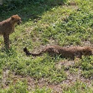 7月下旬のデュラ親子 その4 チーター親子 多摩動物公園