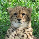 ジャックとエビス 8月上旬のデュラ親子 多摩動物公園 チーター