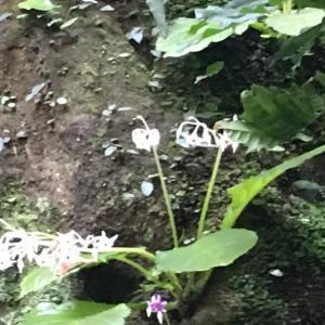 白花イワタバコ