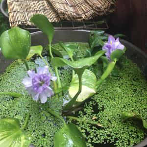 斑入り布袋草開花