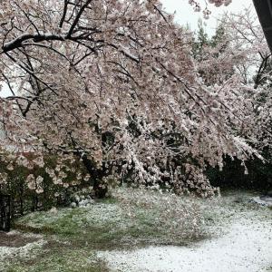桜隠しという季語を使ってみました