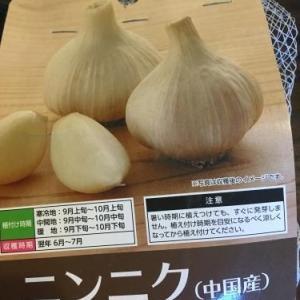 2020.6.16「はるちゃん的 野菜作り 5年目 にんにく栽培 収穫」