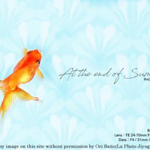 きらきらひらひらふらふら。 sony α7RIV + SEL2470GM 金魚の実写  #α7R4 #a7R4 #東京スカイツリータウン#すみだ水族館