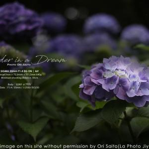 紫の迷路。SIGMA 35mm F1.4 DG DN | Art  作例 #SIGMA #紫陽花 #写真