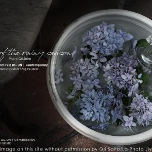 街の紫陽花を探せ。自由が丘『クロス&クロス』28-70mm F2.8 DG DN Contemporary 作例 #自由が丘 #紫陽花 #スナップ
