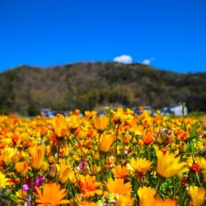 伊豆 松崎町のお花畑は今年も絶景でした