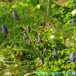 ウィーンによく見られるこの時期の花 292(ムスカリ)