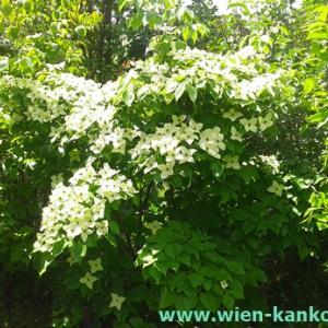 ウィーンによく見られるこの時期の花 308(ヤマボウシ/ベニヤマボウシ)