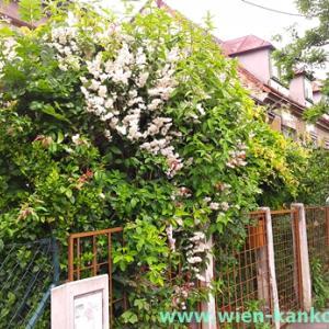 ウィーンによく見られるこの時期の花 309(マルバウツギ)