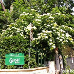 ウィーンによく見られるこの時期の花 354(セイヨウニワトコ)