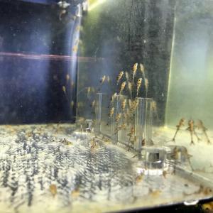 赤ランケ○度目の産卵と孵化