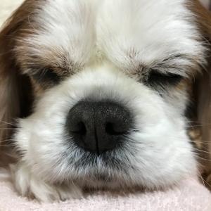 シニア犬、カブの魅力!