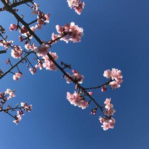 桜を見上げると空も見える!
