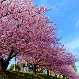 岡崎市乙川沿いの河津桜が満開