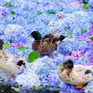 【茨城】わら納豆と水中花【雨引観音】