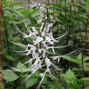 ネコノヒゲ 植物