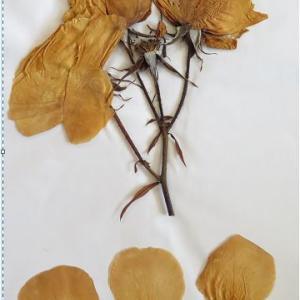 庭のバラ 押し葉標本