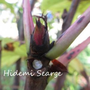 牡丹の花芽
