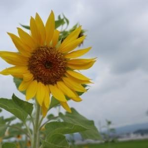 八幡市のひまわり畑