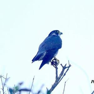 10/13探鳥記録写真-2(狩尾岬の鳥たち:(ペアの)ハヤブサ、ミサゴ、クロサギ、イソヒヨドリ)