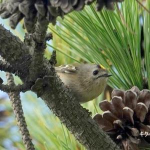 10/14探鳥記録写真-2 10月上旬に出会った鳥たち(ジョウビタキ、キクイタダキ、アトリ、ハヤブサ、ミサゴ、クロサギ、オバシギほか)