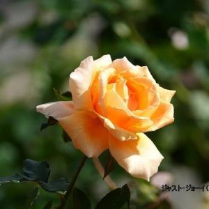 10/18花日記(響灘グリーンパークの花たち-3:作出国:英、米、独、他国のバラたち)
