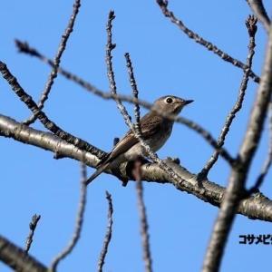 10/18探鳥記録写真(洞北緑地の鳥たち:コサメビタキほか)