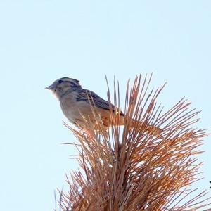 10/20探鳥記録写真-2(はまゆう公園の鳥たち:アトリ、カワラヒワ、ホオジロほか)