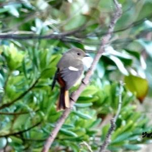 10/20探鳥記録写真(狩尾岬の鳥たち:ジョウビタキ、イソヒヨドリ♀、クロサギ、ミサゴ、)
