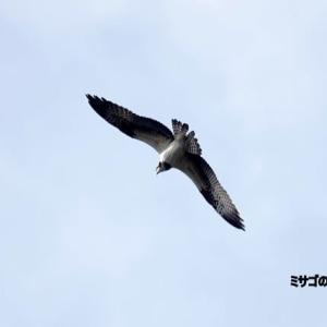 10/23探鳥記録写真-2(はまゆう公園の鳥たち:ジョウビタキ♀、ミサゴの舞ほか)