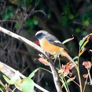 10/23探鳥記録写真(狩尾岬の鳥たち:ジョウビタキづくし)