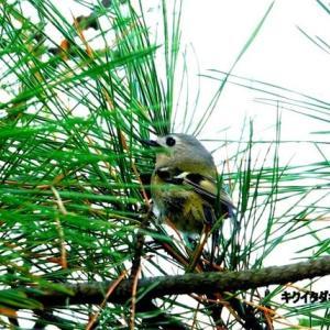 11/10探鳥記録写真-2(はまゆう公園の鳥たち:キクイタダキ、ジョウビタキ♂、ホオジロ、カワラヒワ)