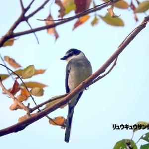 11/11探鳥記録写真-2(瀬板の森の鳥たち:リュウキュウサンショウクイ(づくし))