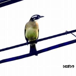 11/12探鳥記録写真(響灘ビオトープの鳥たち:シロガシラ、ジョウビタキ♂&♀、コガモほか)
