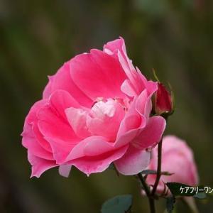 11/14花日記:響灘グリーンパークのバラ園模様-3(作出国:仏国のバラ)