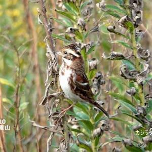 11/16探鳥記録写真-2(11月上旬に出会った鳥たち:カシラダカ、リュウキュウサンショウクイ、ジョウビタキ、アトリ、シロガシラ、オシドリ、ハヤブサほか)
