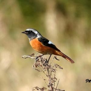 11/17探鳥記録写真(宗像市:某里山の鳥たち:カシラダカ、ジョウビタキ、セグロセキレイ、キセキレイほか)