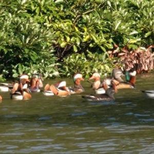 11/20探鳥記録写真-2(響灘緑地:某池のオシドリほか)