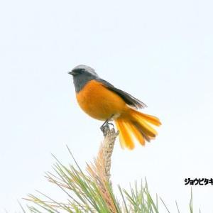 11/20探鳥記録写真(はまゆう公園の鳥たち:ジョウビタキ♂、ホオジロ、カワラヒワ、イソヒヨドリ)