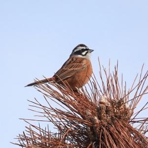 11/21探鳥記録写真-2(はまゆう公園の鳥たち:ジョウビタキ♂、ホオジロ、カワラヒワ)