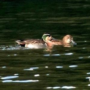 12/06探鳥記録写真-2(響灘緑地:某池の鳥たち:オシドリ、トモエガモ、ミコアイサ、)